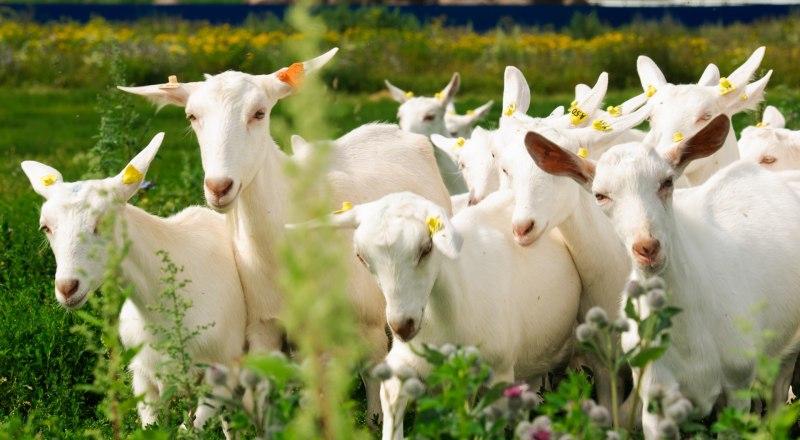 Для многих пенсионеров козы и коровы - это прибавка к нищенской пенсии.