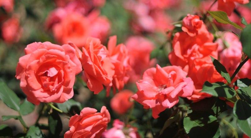 Наибольшая сопротивляемость к мучнистой росе - у чайно-гибридных роз.