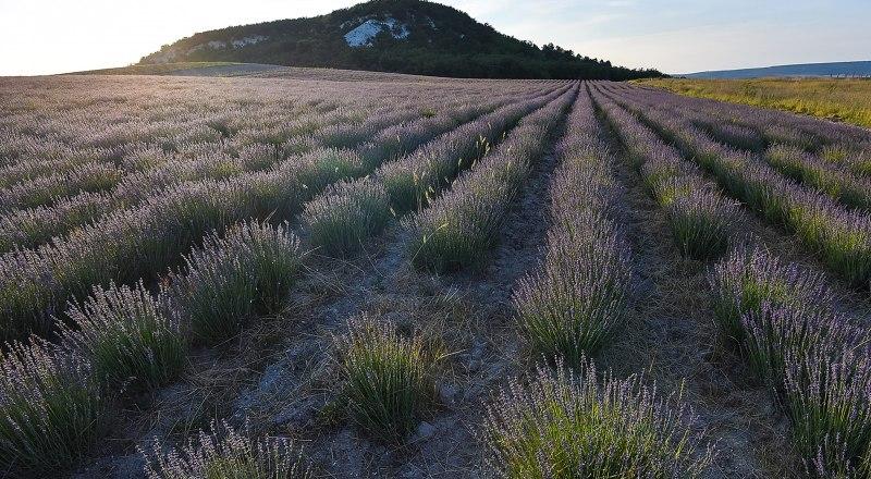 Впервые за несколько десятилетий посадки лаванды в Крыму расширились до 30 гектаров.
