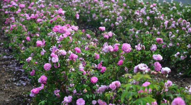 В Крыму выращивают 10 видов культур для получения эфирного масла. Роза - одна из самых перспективных.