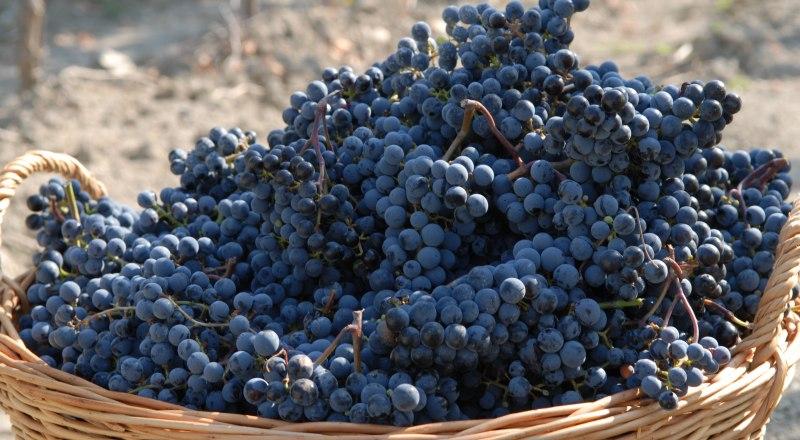 То, что российское вино может быть сделано только из отечественного винограда, теперь закреплено законодательно.
