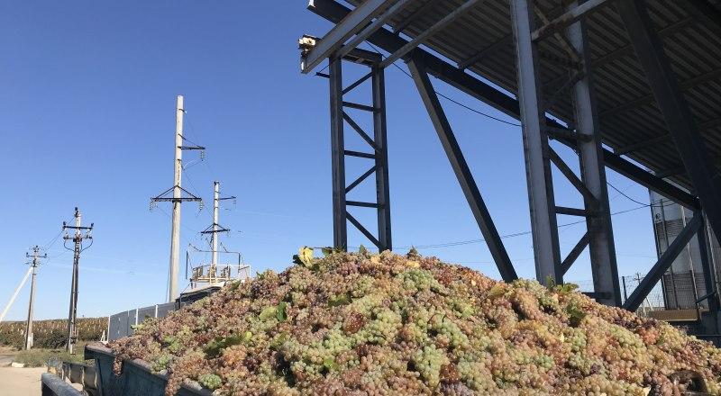 Каждый год в Крыму собирают больше и больше винограда, но этого всё равно мало. Фото Валентины Васильевой.