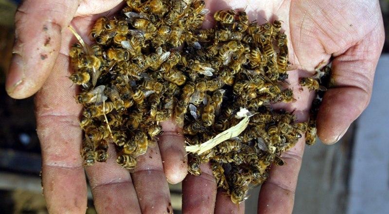 Если начнут массово гибнуть пчёлы, мы останемся не только без мёда, но и без урожая.
