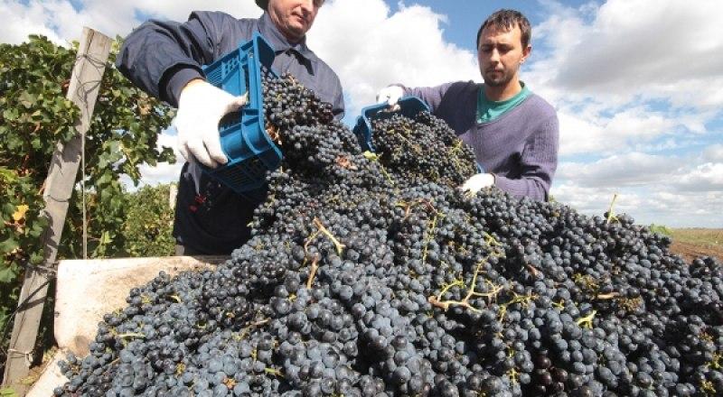 Во время уборки винограда сорта «мерло» для нужд виноделия в селе Ромашкино Сакского района. Фото Алексея ПАВЛИШАК.