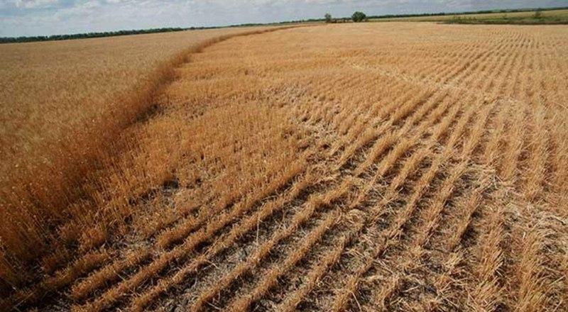 Погибшие на полях колосья в этом году были типичным зрелищем.
