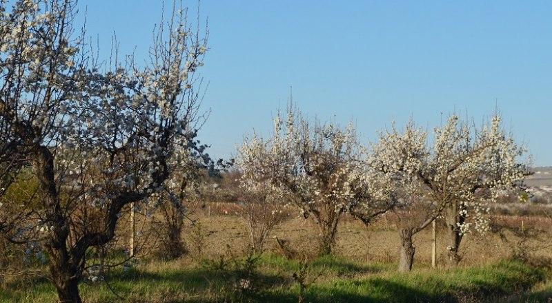 Если в ближайшие две недели не случится заморозков, фруктов в Крыму будет достаточно.