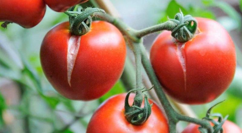 Лопнувшие томаты - это не только некрасиво, но и опасно.