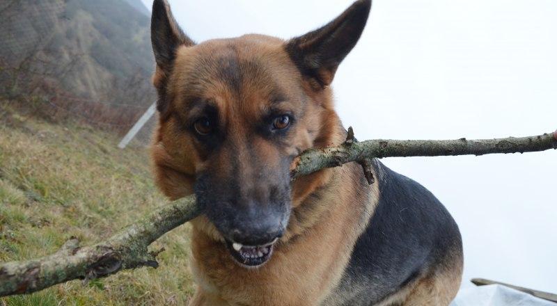 Самая распространённая форма бешенства у собак - буйная. Она может продолжаться от 6 до 11 дней.
