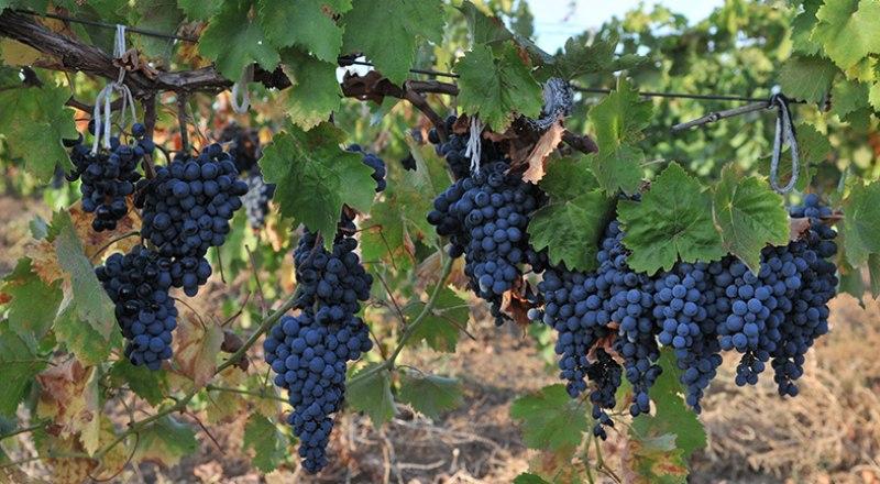 Созревающие гроздья винограда нуждаются в подкормке и защите от насекомых, иначе можно остаться без урожая.