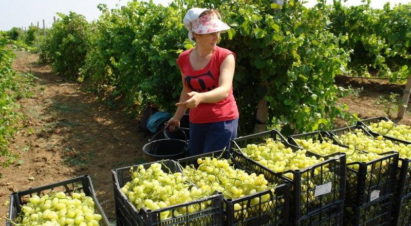 Крымский виноград продают далеко за пределами полуострова: в этом году его отправили даже в Белоруссию.
