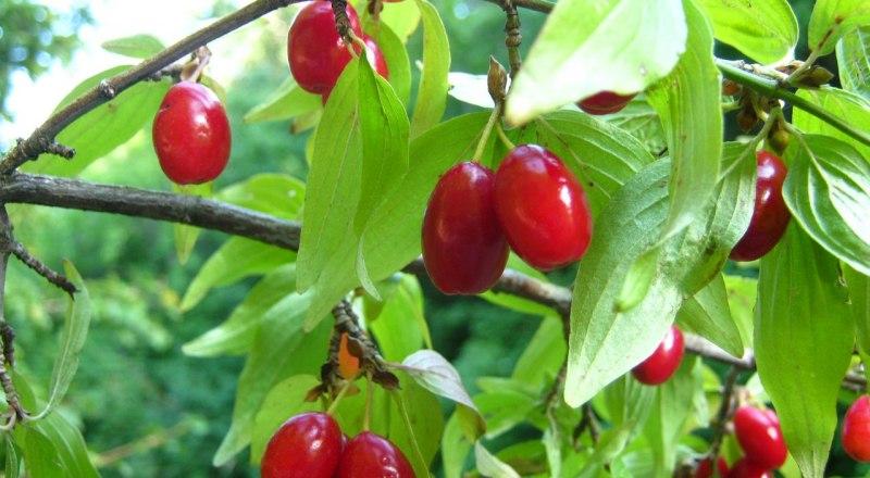 Кизил в Крыму - одна из любимых ягод.