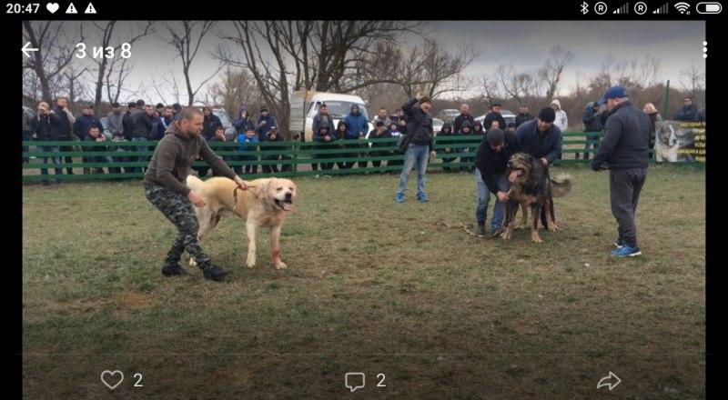 Собачьи бои, которые прошли на днях в Крыму. Организаторы спокойно выложили фото в интернете.