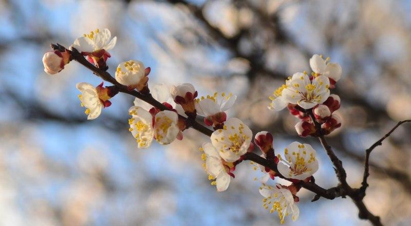 Ночные заморозки застали абрикосовые деревья в разгар цветения.