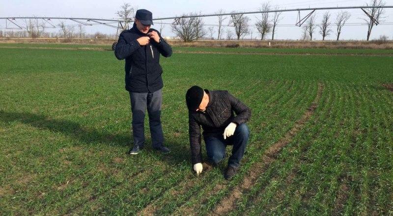 Аграрии обеспокоены: смогут ли сильно раскустившиеся всходы озимых пережить возможные заморозки.
