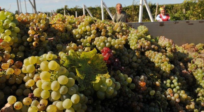 Маленькие винодельни, как правило, делают вино из собственного сырья, поддерживая тем самым развитие отечественного виноградарства.