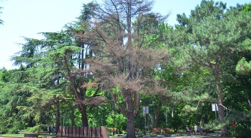 Кедры в скором времени спилят под корень.