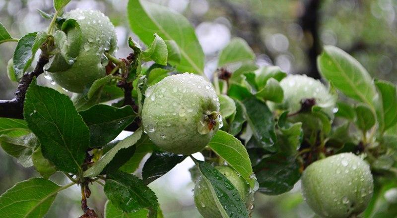 Отягощённые плодами ветки нуждаются в дополнительной опоре.