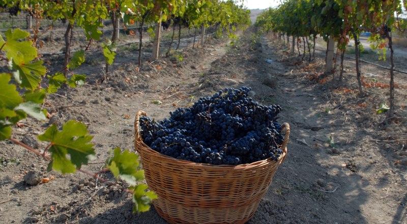 Использование отечественного винограда даст виноделам возможность сэкономить на акцизе.