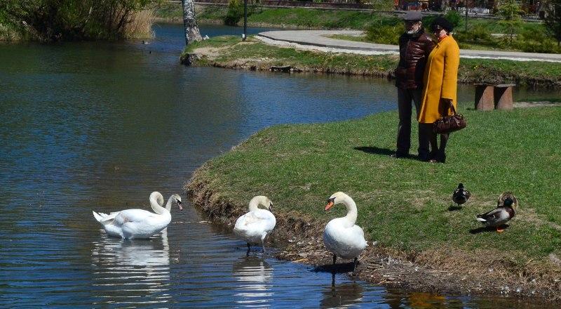 Лебеди - украшение парка. Люди должны любоваться ими, а не обнаглевшими рыбаками.